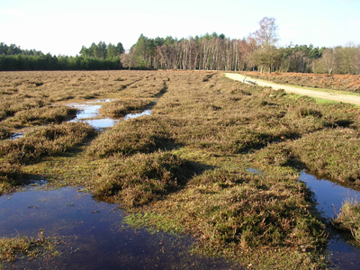 New Forest Peat Bog