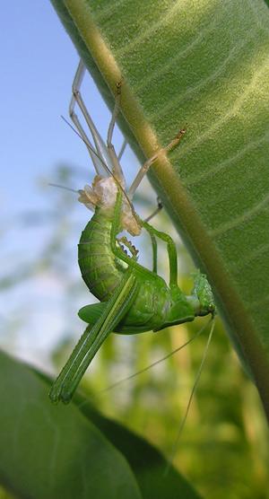 molting katydid