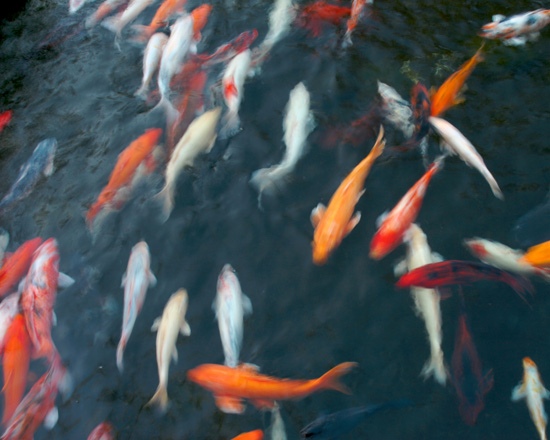 Gordon Smith photo of koi