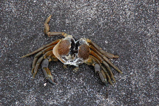 Hollowed Crab on Sea Stone (Talisker Bay, Isle of Skye)