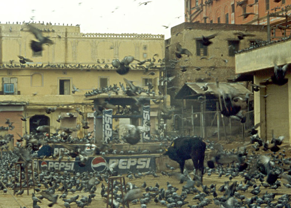photo of pigeons flying around bull in a city